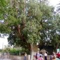 Дрвото на св. апостол Закхеј сѐ уште стои во Ерихон